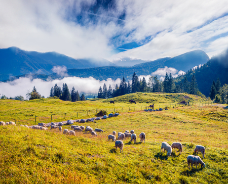 Sunny summer landscape with sheep in the pasture. Colorful morning scene in the Julian Alps, Triglav National Park, Slovenia, Europe. Beauty of countryside concept background. Imagens