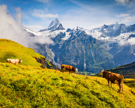 Cattle on a mountain pasture. Colorful morning view of Bernese Oberland Alps, Grindelwald village location. Schreckhorn summit in the morning mist. Switzerland, Europe. Stock Photo