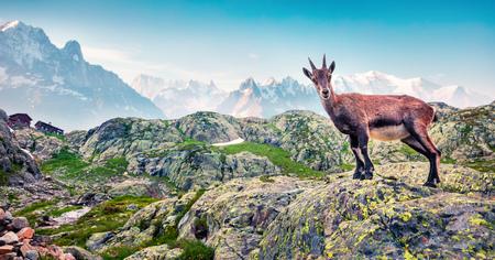 Alpiner Steinbock (Capra Ibex) auf dem Mont Blanc (Monte Bianco) Hintergrund. Nebeliger Sommermorgen im Vallon de Berard Nature Reserve, Graian-Alpen, Frankreich, Europa. Standard-Bild - 93258024