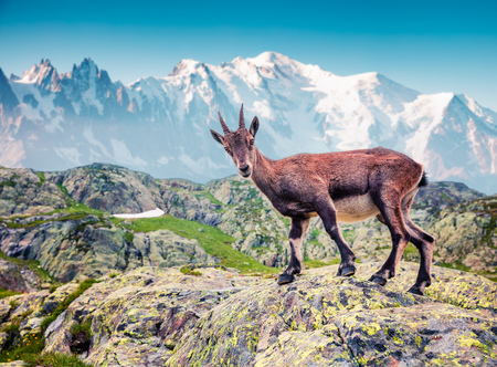 Alpine Ibex (Capra Ibex) on the Mont Blanc (Monte Bianco) background. Foggy summer morning in the Vallon de Berard Nature Reserve, Graian Alps, France, Europe.