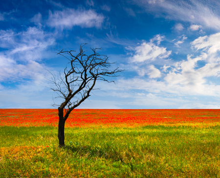 Exotic summer landscape with dry tree near a field of blooming poppy flowers. Colorful morning scene in Crimea. Beauty of nature concept background.