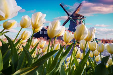 Die berühmten holländischen Windmühlen unter blühenden weißen Tulpenblumen. Sonnige Szene im Freien in den Niederlanden. Schönheit des Landschaftskonzepthintergrundes. Kreative Collage.