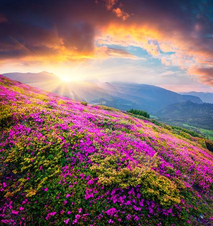 Por do sol dramático do verão nas montanhas Carpathian. Grande ideia da noite dos campos de flores de florescência do rododendro no vale da montanha. Beleza do fundo do conceito de natureza.