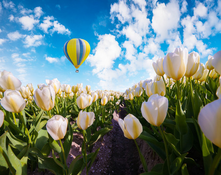Flying on the balloon over the field of blooming white tulip flowers. Sunny spring scene in the countryside. Artistic style post processed photo.
