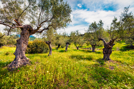 Sunny spring scene in olive garden on the Zakinthos island. Colorful morning scene in Greece, Europe. Standard-Bild