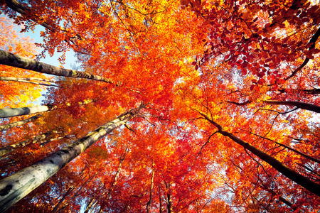 Bottom view of the tops of trees in the autumn forest. Splendid morning scene in the colorful woodland. Beauty of nature concept background.