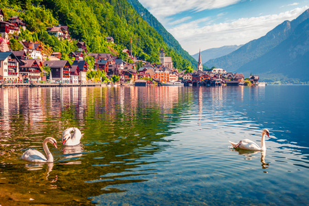 White swans on the lake Hallstatter See. Sunny morning scene on the pier of Hallstatt village in the Austrian Alps, Liezen District of Styria, Austria, Alps. Europe. Traveling concept background. Foto de archivo - 116549832