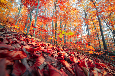 Wide angle view of the autumn forest. Splendid morning scene in the colorful woddland. Beauty of nature concept background. Stock fotó