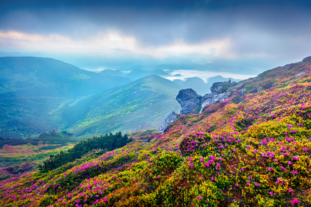Colorful summer sunrise with fields of blooming rhododendron flowers. Splendid outdoors scene in the Carpathian mountains, Ukraine, Europe. Beauty of nature concept background. Zdjęcie Seryjne