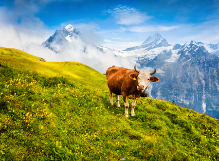 Cattle on a mountain pasture. Colorful morning view of Bernese Oberland Alps, Grindelwald village location. Schreckhorn summit in the morning mist. Switzerland, Europe. 免版税图像