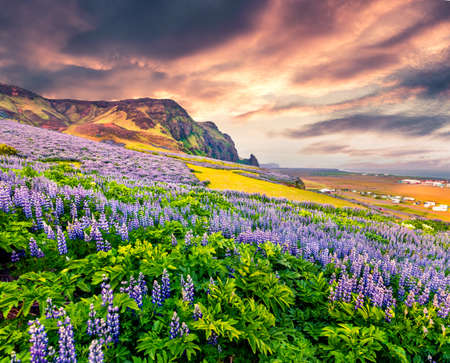 Majestic summer sunrise on the south coast of Iceland, Vik village location. Colorful outdoor scene with field  of blooming lupine flowers. Beauty of nature concept background. Banque d'images