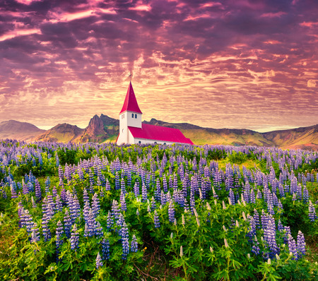 Small church surrounded by blooming lupin flowers in the Vik village. Dramatic summer sunrise in the Iceland, Europe. Beauty of countryside concept background.