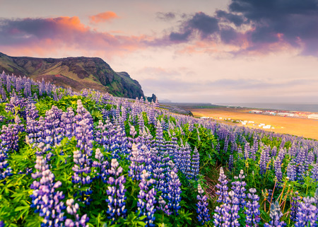 Amazing summer sunrise on the south coast of Iceland, Vik village location. Colorful outdoor scene with field  of blooming lupine flowers. Beauty of nature concept background.