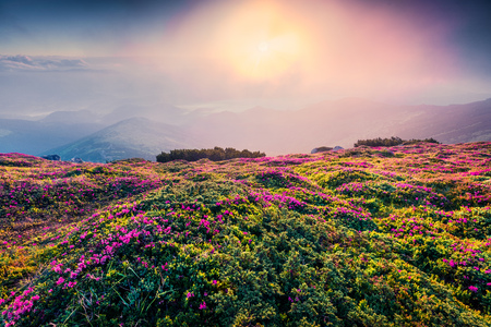Colorful summer sunrise with fields of blooming rhododendron flowers. Splendid outdoors scene in the Carpathian mountains, Ukraine, Europe. Beauty of nature concept background. Stock Photo