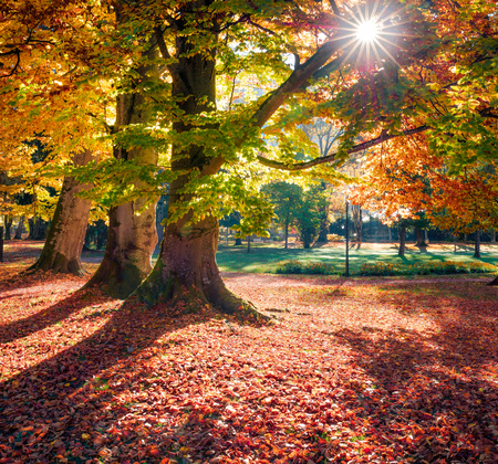 Colorful morning view of old beech trees in  Kurpark in Thumersbach village, located on the shore of the Zell lake. Picturesque autumn scene in the city park. Beauty of nature concept background.