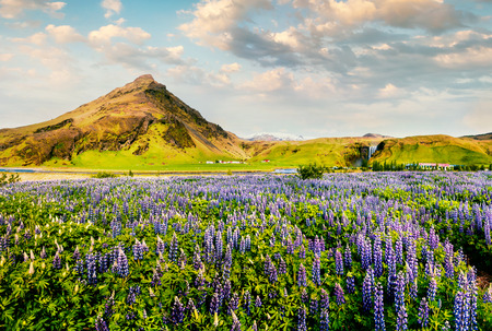 Blooming lupine flowers near amazing Skogafoss waterfall in south Iceland, Europe. Bright summer view of North countryside. Beauty of nature concept background.