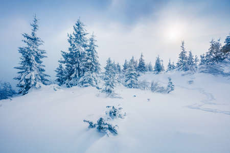Misty winter view of Carpathian mountains with snow covered fir trees. Colorful outdoor scene, Happy New Year celebration concept. Beauty of nature concept background. 스톡 콘텐츠