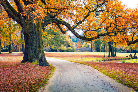 Old oak tree in Muskau Park. Impressive morning scene of Bad Muskau town square, Upper Lusatia region, Saxony, Germany, Europe. Beauty of nature concept background.
