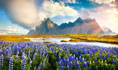 Wonderful summer view of Blooming lupine flowers on the Stokksnes headland with Vestrahorn (Batman) mountain on background, southeastern Iceland, Europe. Beauty of nature concept background. 写真素材