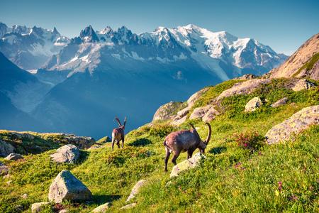 Alpine Ibex (Capra Ibex) on the Mont Blanc (Monte Bianco) background. Sunny summer morning in the Vallon de Berard Nature Reserve, Chamonix location, Graian Alps, France, Europe.