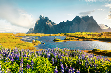 Attractive summer view of Blooming lupine flowers on the Stokksnes headland with Vestrahorn  mountain on background, southeastern Iceland, Europe. Stockfoto