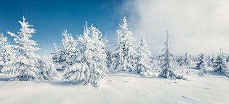 Fantastic winter panorama of mountain forest with snow covered fir trees. Colorful outdoor scene, Happy New Year celebration concept. Beauty of nature concept background.