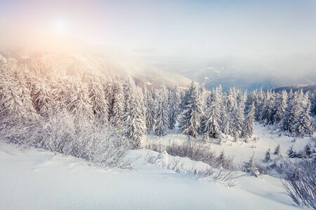 Attractive winter postcard of Carpathian mountains with snow covered fir trees. Colorful outdoor scene, Happy New Year celebration concept. Artistic style post processed photo. Zdjęcie Seryjne