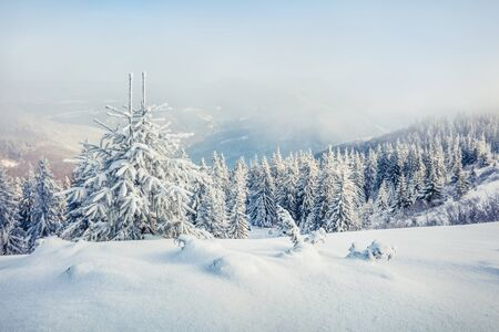 Great misty morning after huge blizzard in mountain forest with snow covered fir trees. Splendid outdoor scene, Happy New Year celebration concept. Beauty of nature concept background