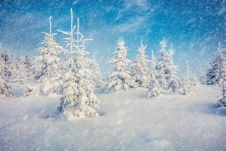 Blizzard in mountain forest with snow covered fir trees. Splendid outdoor scene, Happy New Year celebration concept. Beauty of nature concept background. 写真素材