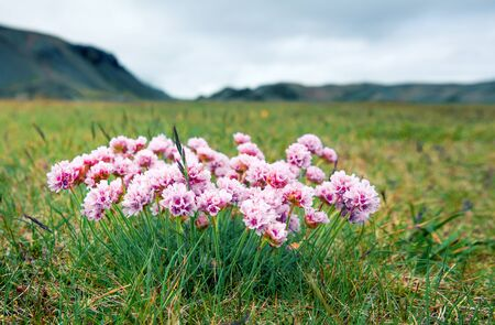 Small pink flowers blooming on the Atlantic shore in Iceland. Beautiful summer view of Iceland, Europe. Artistic style post processed photo. Banco de Imagens
