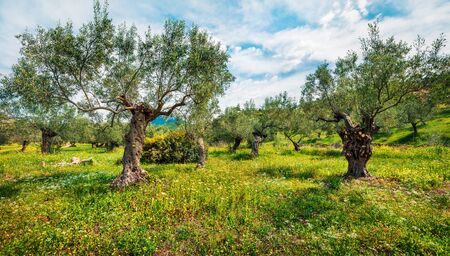 Rural spring scene of olive garden on the Zakynthos island. Bright morning view of Greece, Europe. Beauty of countryside concept background. Artistic style post processed photo. 免版税图像