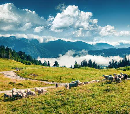Flock of sheeps on alpine pasture in sunny summer day. Colorful morning scene of Triglav National Park, Juliann Alps, Slovenia, Europe.