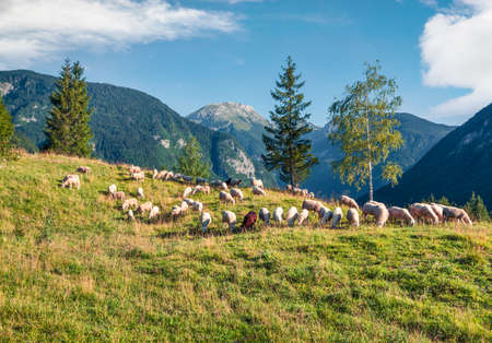 Beautiful summer view of sheeps on the pasture. Colorful morning scene in the Julian Alps, Triglav National Park, Bohinj lake location, Slovenia, Europe. Beauty of countryside concept background.