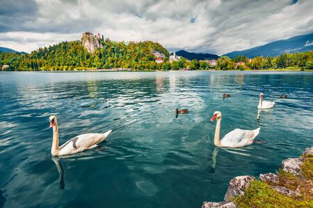 White swans on Bled Lake, Bledsky lake. Amazing summer view of Julian Alps, Slovenia, Europe. Beauty of countryside concept background.