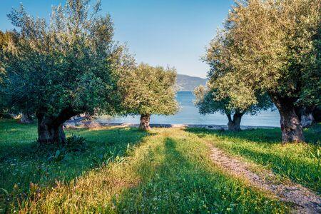Beautiful spring view of olive garden on Phoki Beach. Picturesque countryside scene of Kefalonia island, Tselentata village location, Greece, Europe. Traveling concept background.