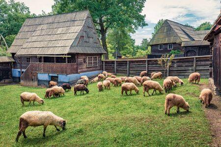 Flock of sheep in highland village. Picturesque rural landscape in Transylvania, Romania, Europe. Splendidmorning scene of countryside.