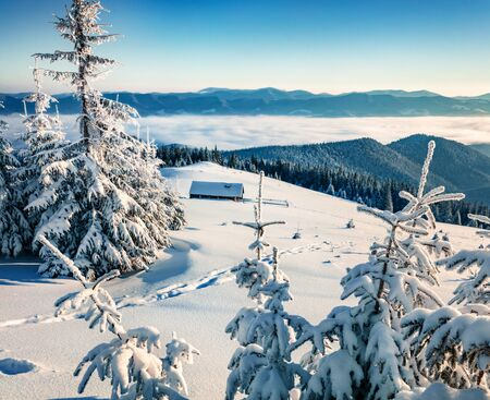 Fir trees covered by snow. Sunny winter day in Carpathians. Bright morning scene of mountain valley. Beauty of nature concept background.