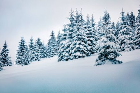 Cold winter morning in mountain forest with snow covered fir trees. Picturesque outdoor scene of Carpathian mountains. Beauty of nature concept background. Banque d'images