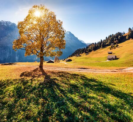 Golden tree on the Grindelwald village valley. Captivating morning view of Swiss Bernese Alps, Switzerland, Europe. Beauty of countryside concept background.