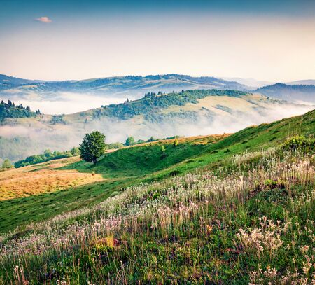 Blooming white flowers in the summer mountains. Amazing morning view of Borzhava ridge, Carpathian mountains, Ukraine, Europe. Beauty of nature concept background.