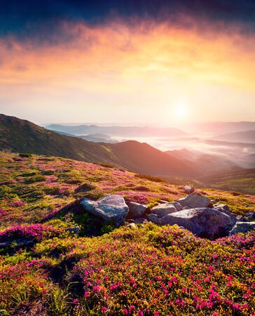 Misty summer sunrise in Carpathian mountains. Fresh grass and rhododendron flowers glowing by the first sunlight on mountain hills, Chornogora, Ukraine. Beauty of nature concept background. Imagens