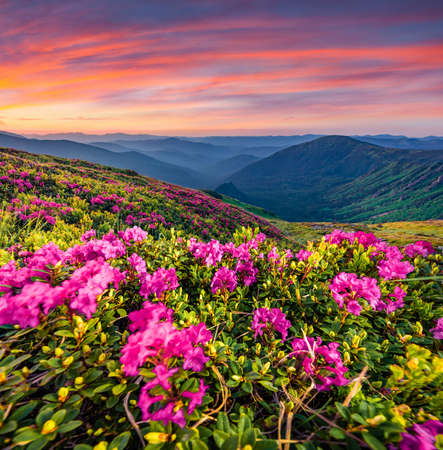 Blooming pink rhododendron flowers on the Carpathians hills. Splendid summer sunset on Carpathian mountains with Homula mount on background, Ukraine, Europe. Beauty of nature concept background.