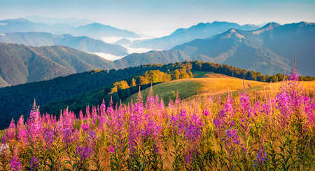 Wonderful morning scene of foggy mountain valley with Chamaenerion angustifolium flowers. Stunning summer view of Menchul mountain range. Perfect landscape of Carpathians, Ukraine. 免版税图像