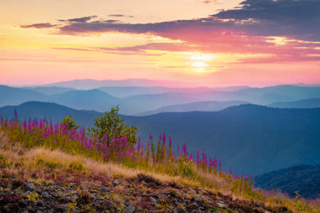 Blossom Chamaenerion angustifolium flowers on the Menchul mountain valley. Breathtaking summer scene of Carpathian Mountains, Ukraine, Europe. Beauty of nature concept background.