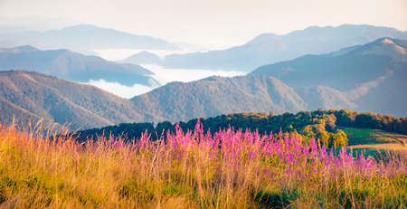 Bright morning scene of foggy mountain valley with Chamaenerion angustifolium flowers. Picturesque summer view of Menchul mountain range. Nice landscape of Carpathians, Ukraine, Europe.