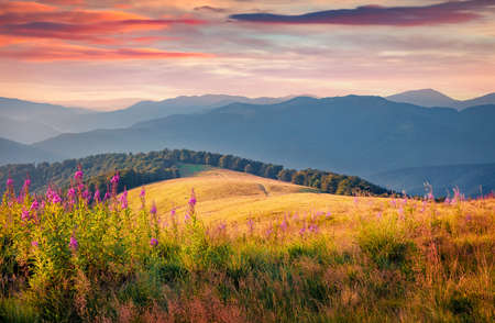 Blooming pink Chamaenerion angustifolium flowers on the Menchul mountain valley. Unbelievable summer scene of Carpathian mountains, Ukraine. Beauty of nature concept background.