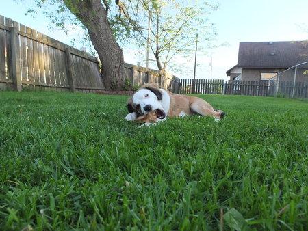 Chew Bone Puppy