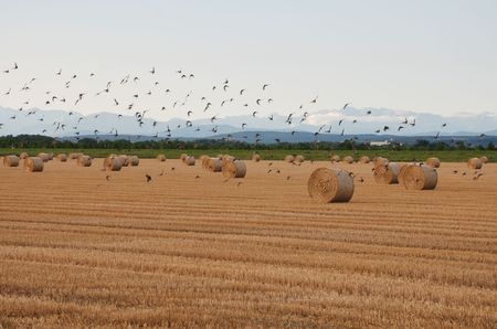 A flock of birds takes off in a field of round hay bales drying in a northern Italian field.  photo