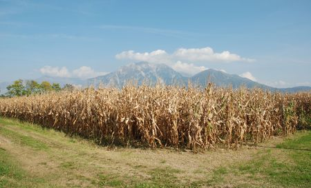 A dried field of corn in the autumn with blue skies and mountains in the background  photo