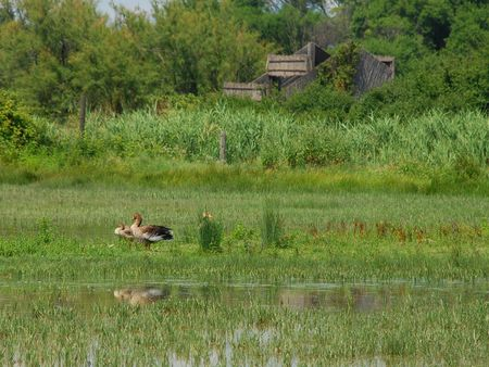 wetland conservation: Three ducks in the grasses at a wetland nature conservation park  Stock Photo